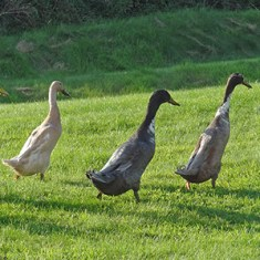 Our Animals - Ducks - Boscrowan Farm Family Friendly Award Winning Self Catering Holiday Cottages