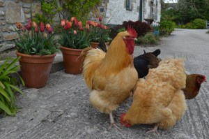 chickens and tulips 1