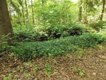 maagdenpalm langs een bospad