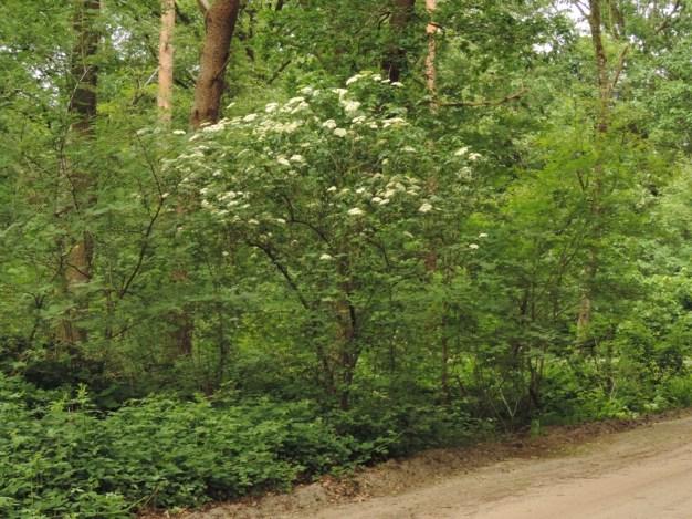 vlier in het bos