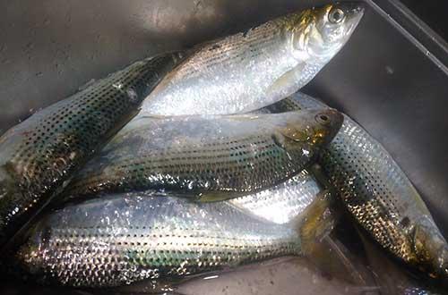 コノシロ【子之代・飯代魚・鰶・鮗】