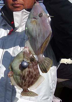 釣果カワハギ