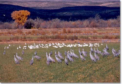 Sandhill Cranes (via www.desertusa.com)