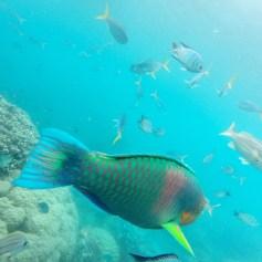 Parrot fish at Blue Pearl Bay