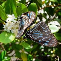 Tiger Blue butterflies at Shaw Island