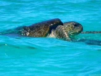 Nesting season for the loggerhead turtles.