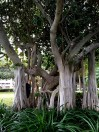 Banyan trees line the Strand waterfront.