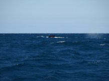 Whales but still haven't caught that illusive breach