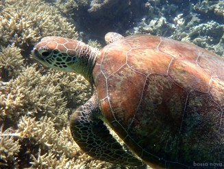 Swimming with this turtle at Lady Musgrave was a rare treat.