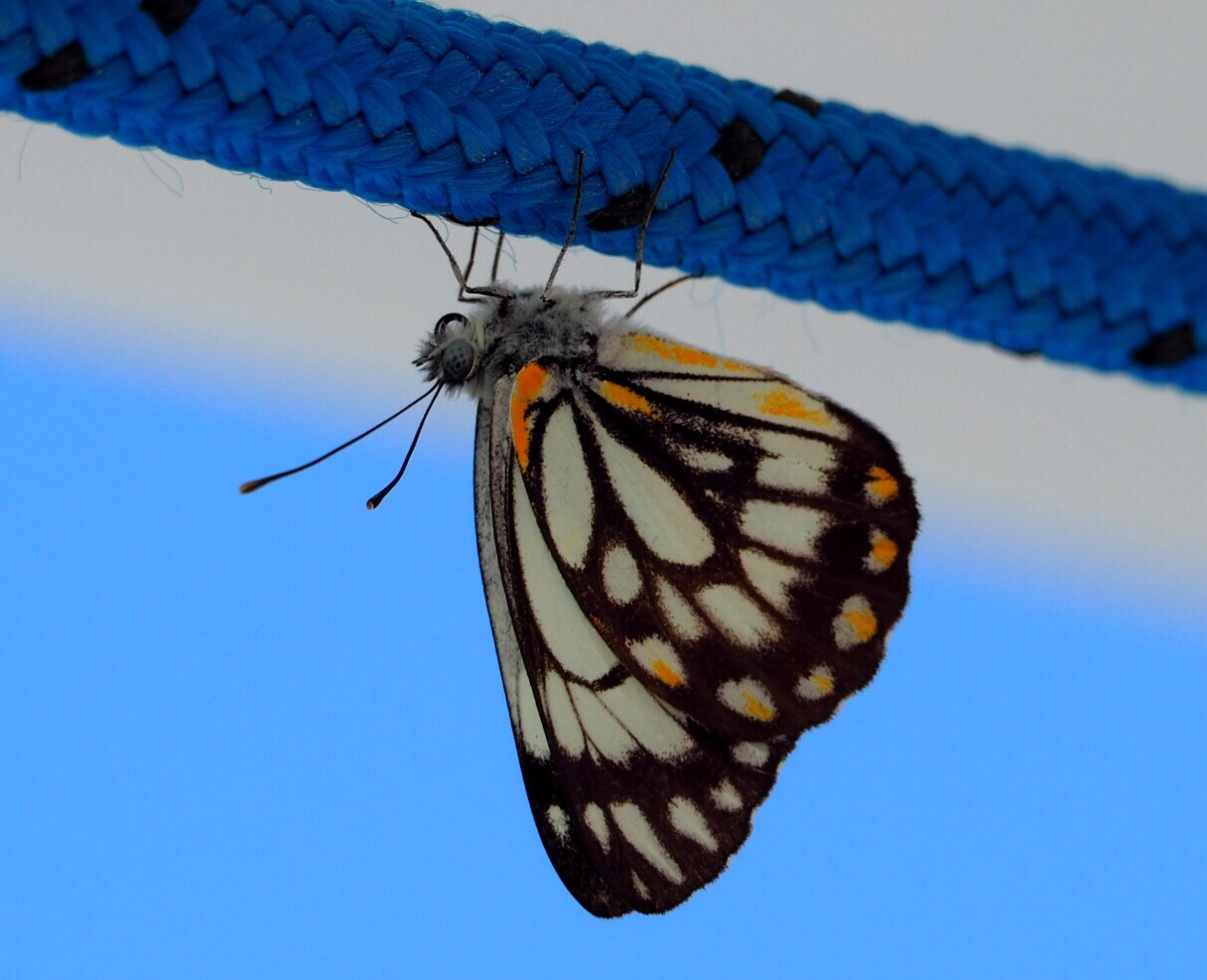While motoring in the Sandy Straits near Fraser Island we were inundated with millions of butterflies.