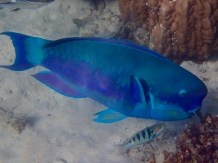 Biggest parrot fish at Amedee