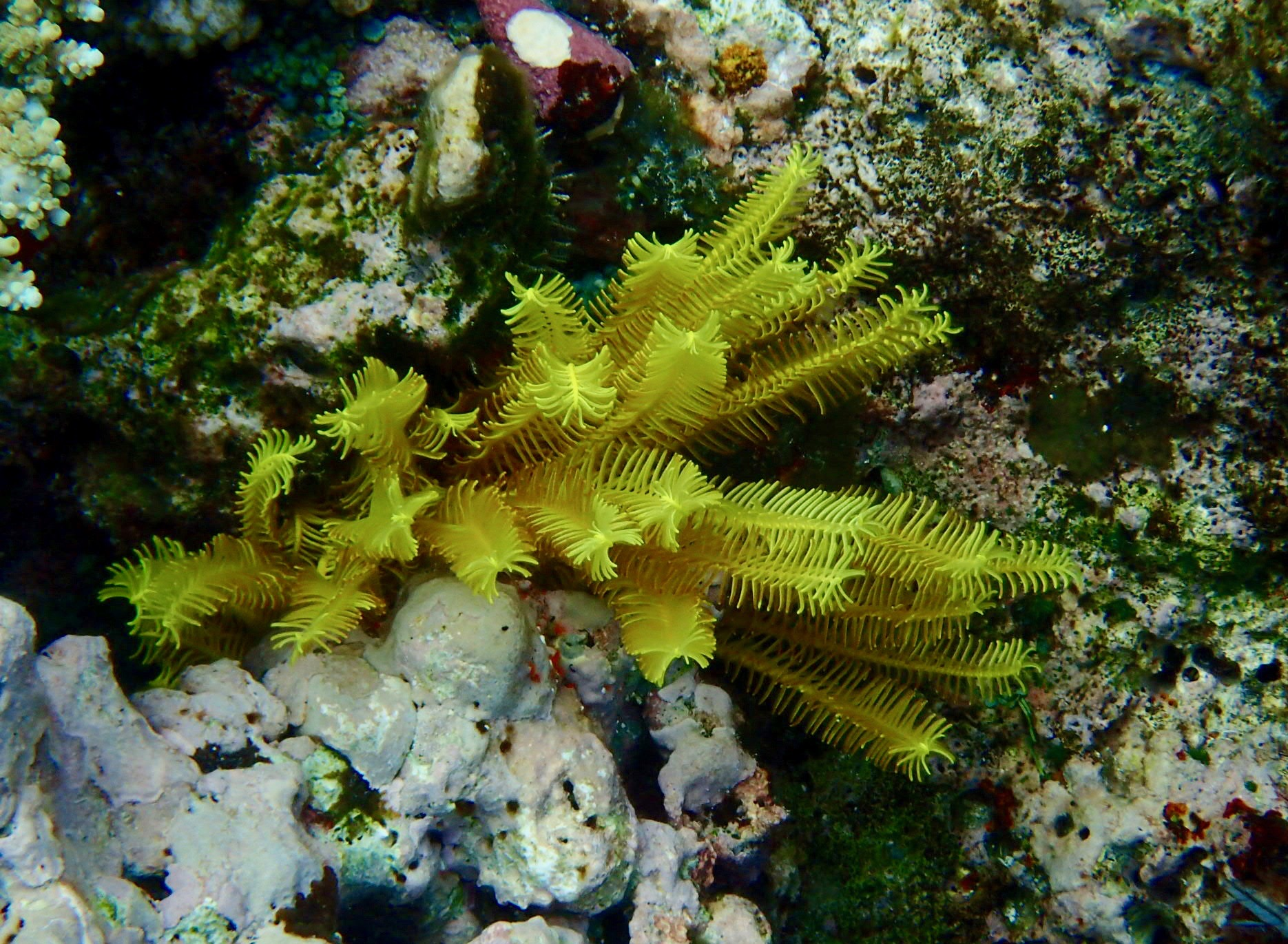 Yellow feather star coral