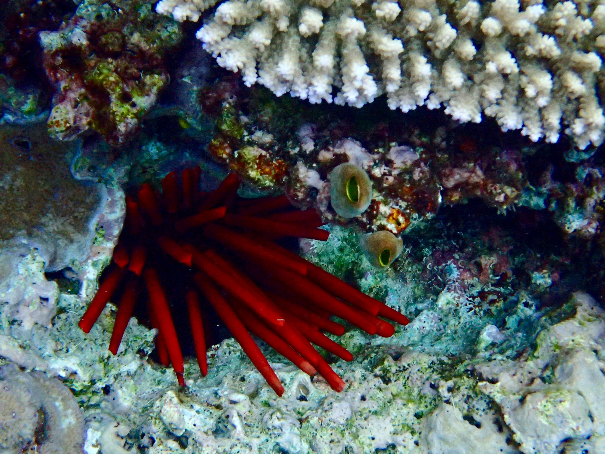 Red is such a stunning colour under water. Sea urchins have vibrant red spines.
