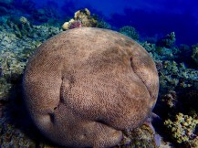 This 'brain' coral took my eye. It was so big and round.