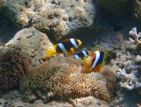 Amongst a barren sandy bottom I came across a family of clownfish.