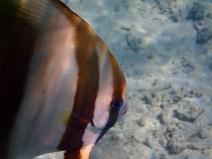 A bat fish up close.