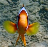 My agro clownfish!