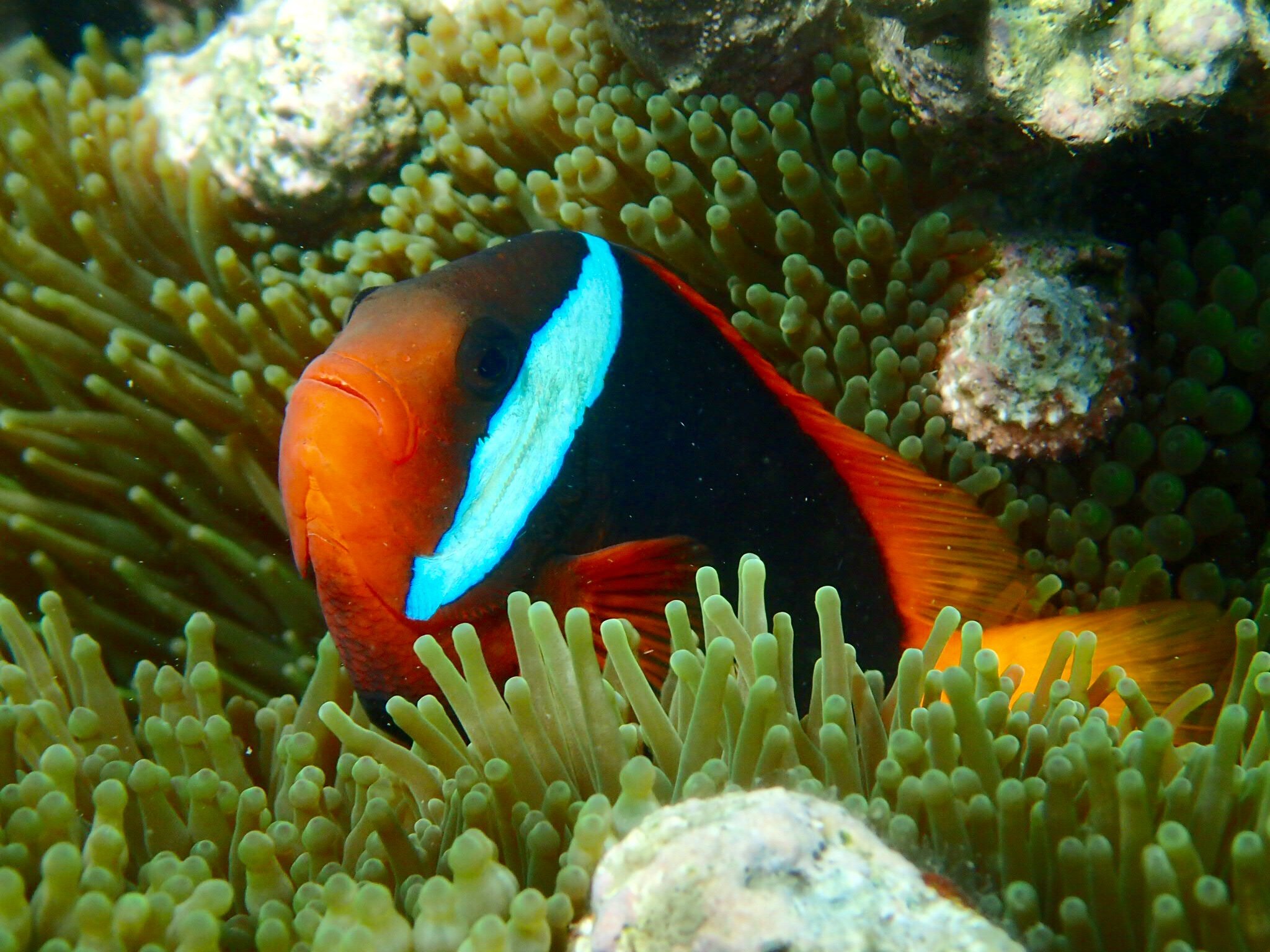 The anemone fish ... and so close!