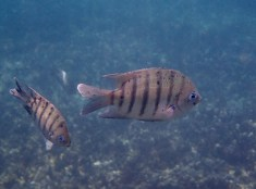 A Sergeant-Major up close. These little fish seem to be everywhere you snorkel.