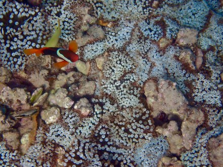 One of my favourite pics! I have never seen blue Anemone. This pic gives you context to where these Anemone-fish live.