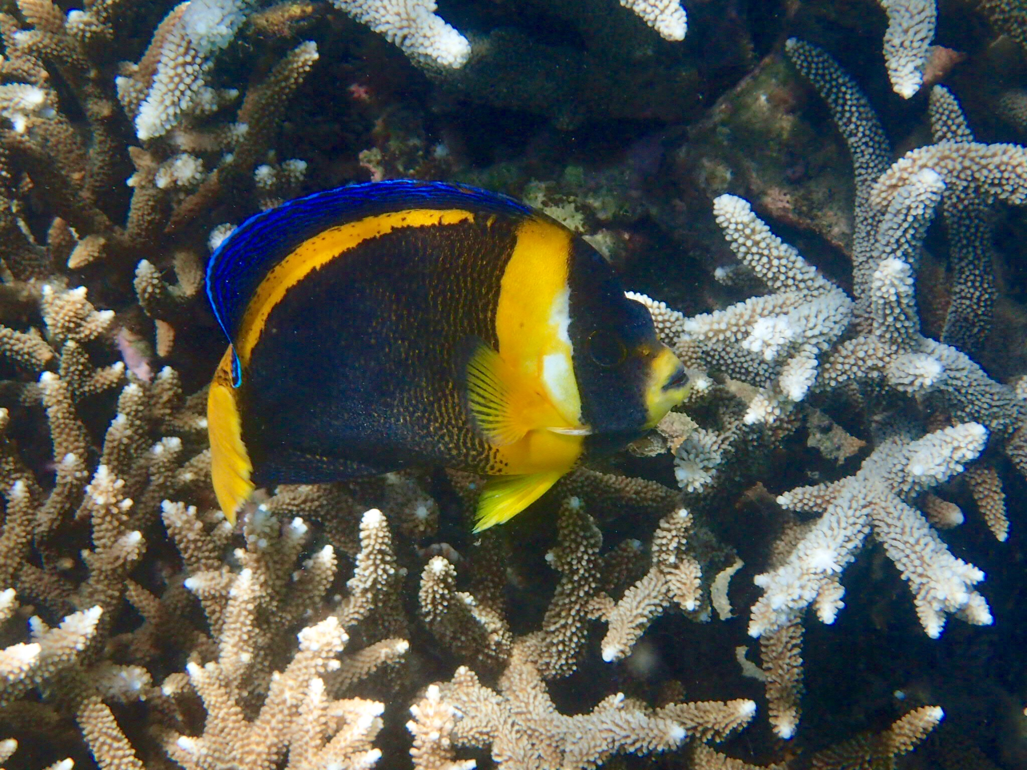 An up-close Scribbled Angelfish! I hadn't seen these until Monkey Beach.