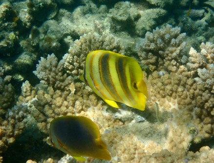 Two types of Butterflyfish!