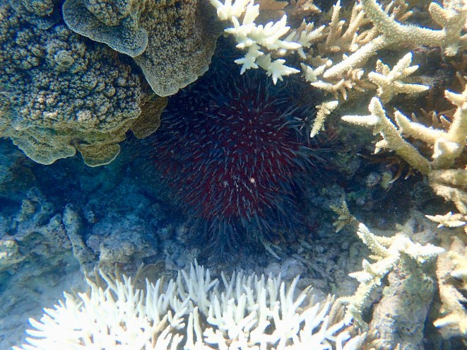 And I found a Crown of Thorns starfish tucked under some rubbly coral, next to the white coral.