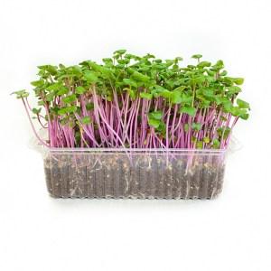 Микрозелень редис, միկրոկանաչի բողկ , radish microgreen