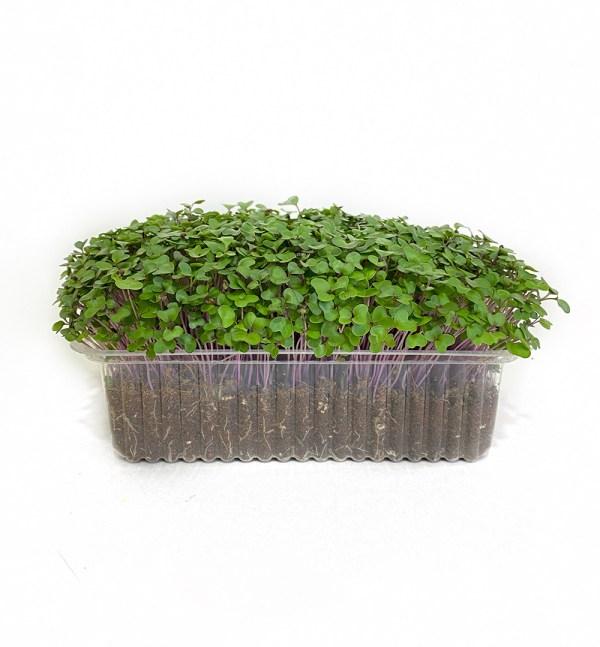 Микрозелень кольраби, միկրոկանաչի կոհլրաբի, kohlrabi microgreen