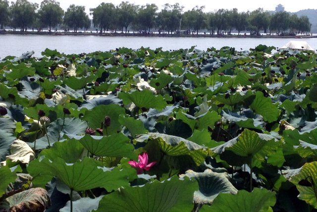Lonely_Lotus_Flower