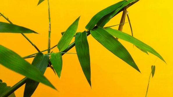 4-bamboopalm.png
