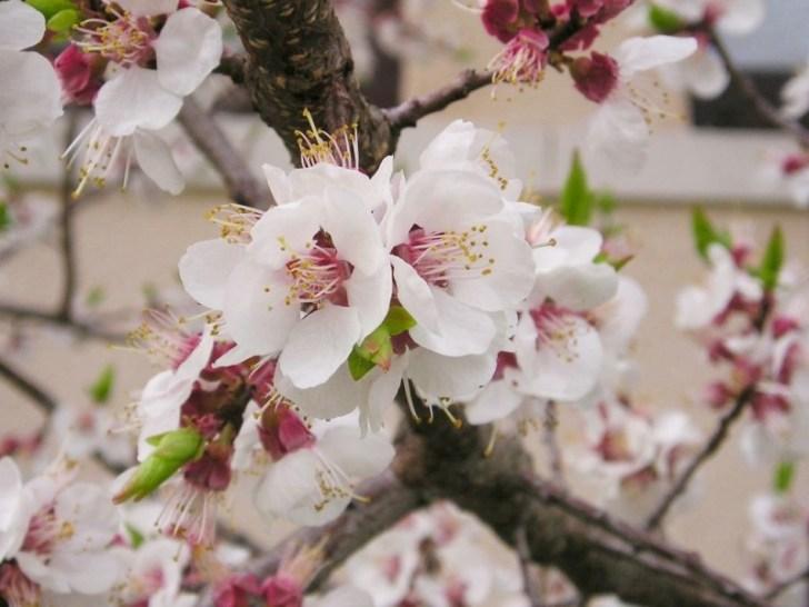 photo credit: Mandelbaum (Prunus dulcis) via photopin (license)