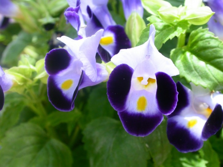 photo credit: Torenia fournieri (Veronicaceae) via photopin (license)