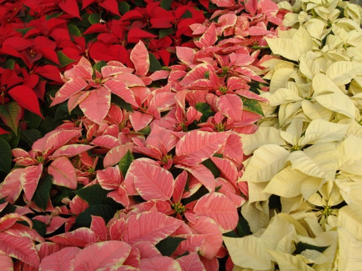photo credit: Variedades de poinsettia via photopin (license)