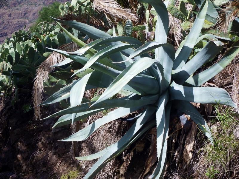 agave-259223_1280