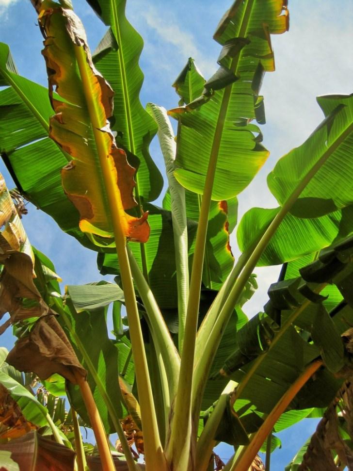 banana-tree-329105_1920