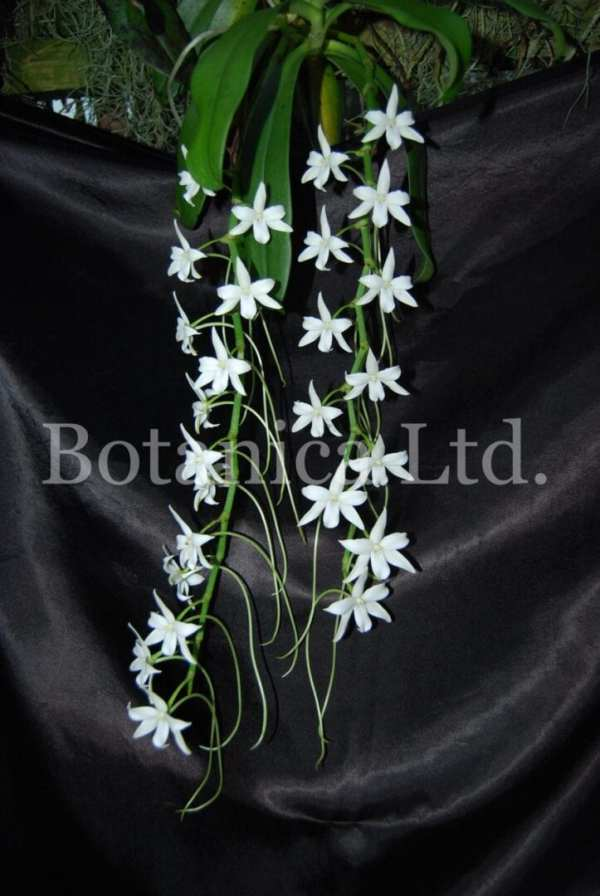 Aerangis modesta – hanging inflorescences with many fragrant white flowers