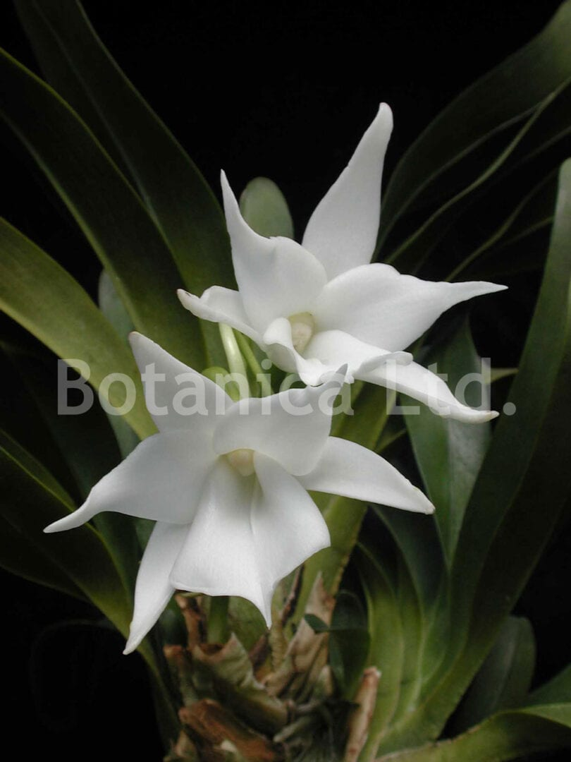 Angraecum magdalenae – lovely white flowers, heavy with fragrance