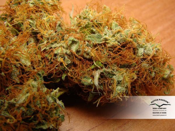 mazar-dutch-passion-cannabis-seeds