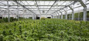 luz-cannabis