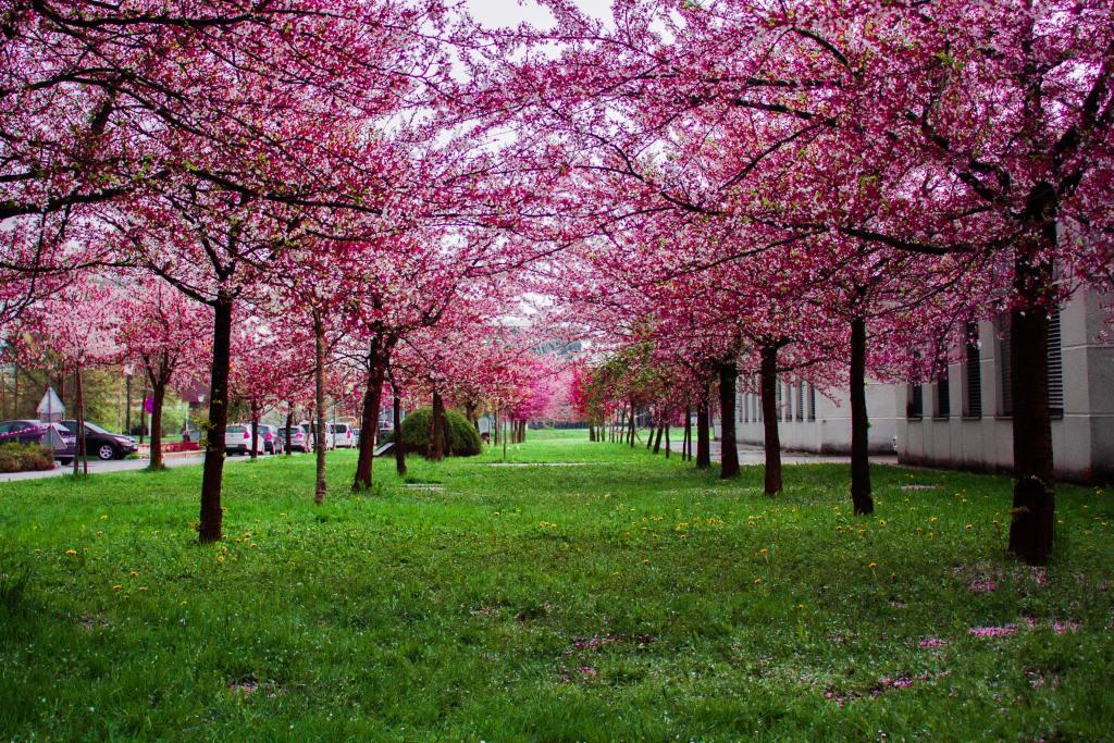 Allee of pink flowering trees
