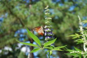 Vitex chaste tree with butterfly