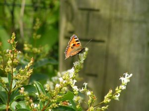 Butterfly on crepe myrtle