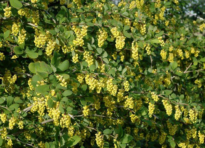 Berberis_vulgaris, bayberry