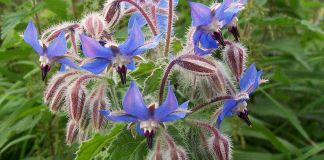 Borage, borago officinalis