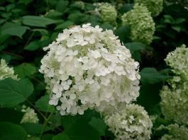 hydrangea_in_flower