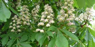 horse_chestnut_flowers
