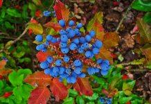 Oregon_Grape,Mahonia_aquifolium