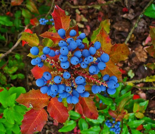 Oregon_Grape,Mahonia_aquifolium