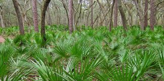 saw_palmetto,Serenoa_repens